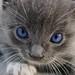 Grey Kitten by Weird_Aunt_Martha