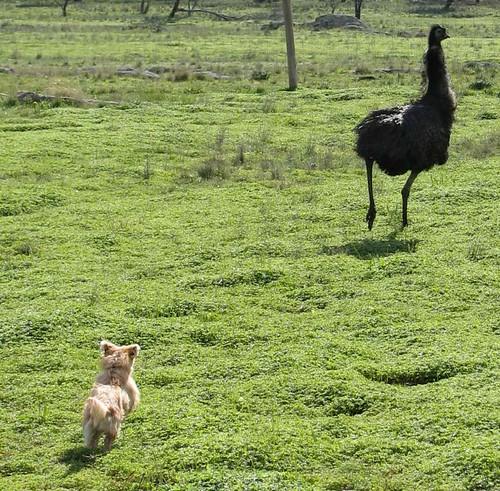 dog chasing emu