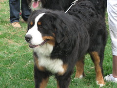 dog breed(1.0), animal(1.0), moscow watchdog(1.0), dog(1.0), appenzeller sennenhund(1.0), pet(1.0), greater swiss mountain dog(1.0), entlebucher mountain dog(1.0), english shepherd(1.0), bernese mountain dog(1.0), carnivoran(1.0),