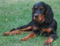 dog breed, animal, dog, picardy spaniel, carnivoran,