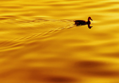 sunset water wow river gold golden duck bravo waves 100v10f surface ethereal waterfowl hout ether naturesfinest outstandingshots specanimal mywinners abigfave anawesomeshot superaplus aplusphoto