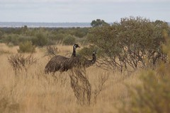 emu, animal, prairie, plain, flightless bird, fauna, savanna, grassland, safari, bird, ratite, wildlife,