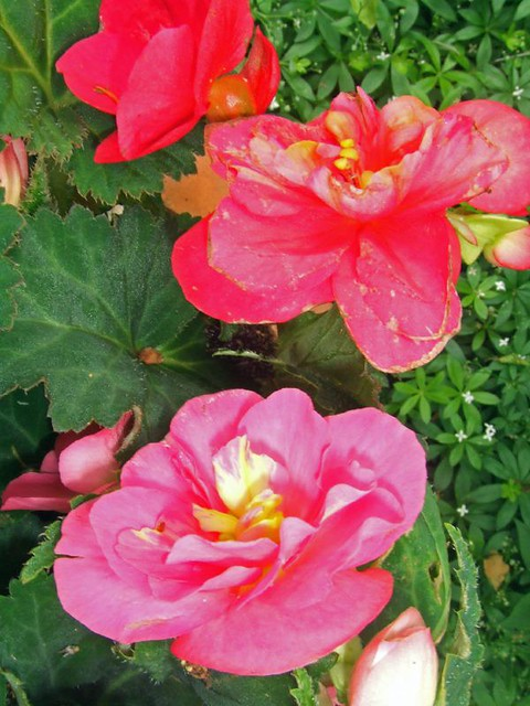 how to take cuttings from tuberous begonias