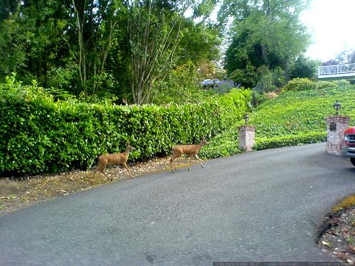 deer in a driveway on old river road   DSC00294