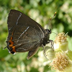 White-letter Hairstreak - Satyrium w-album -Victim of theft!