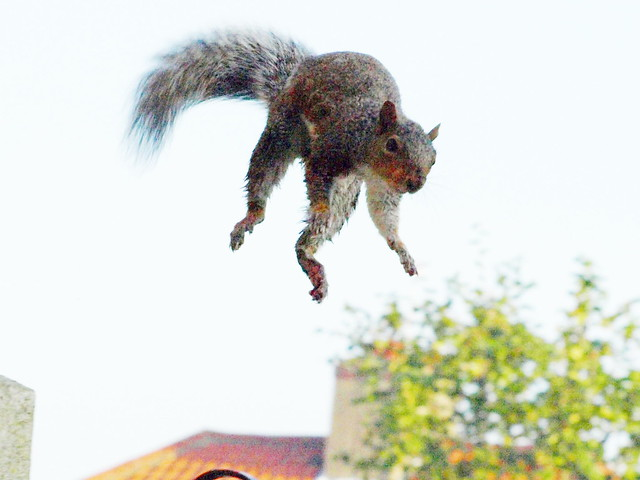 Caution! Low flying squirrel! 2