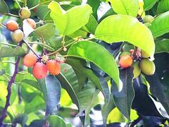 Spanish cherry / বকুল