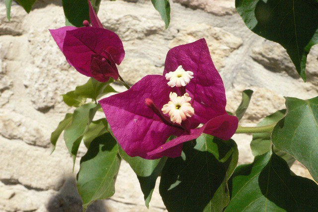 bougainvillier which I love so much