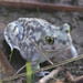 Couch's Spadefoot - Photo (c) Jerry Oldenettel, some rights reserved (CC BY-NC-SA)
