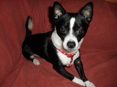dog breed(1.0), chihuahua(1.0), animal(1.0), dog(1.0), pet(1.0), miniature fox terrier(1.0), toy fox terrier(1.0), rat terrier(1.0), carnivoran(1.0),