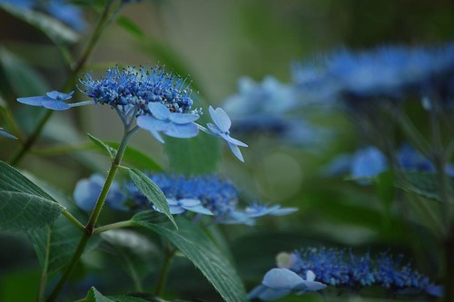 Lace-cap Hydrangea by hh1595