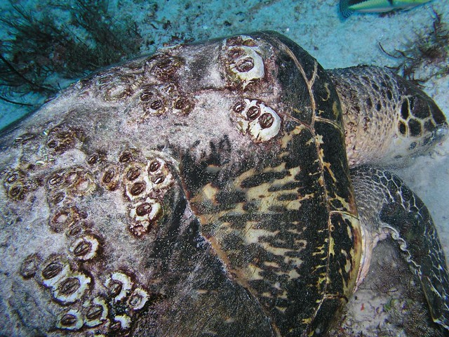 sea turtle and barnacles on shell   Flickr - Photo Sharing!