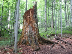 woodland, deciduous, tree stump, wood, tree, plant, old-growth forest, grove, forest, trunk, natural environment, wilderness, biome, temperate broadleaf and mixed forest,