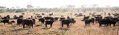 cattle-like mammal(1.0), animal(1.0), prairie(1.0), steppe(1.0), wildebeest(1.0), plain(1.0), mammal(1.0), herd(1.0), grazing(1.0), fauna(1.0), pasture(1.0), savanna(1.0), grassland(1.0), safari(1.0), wildlife(1.0),