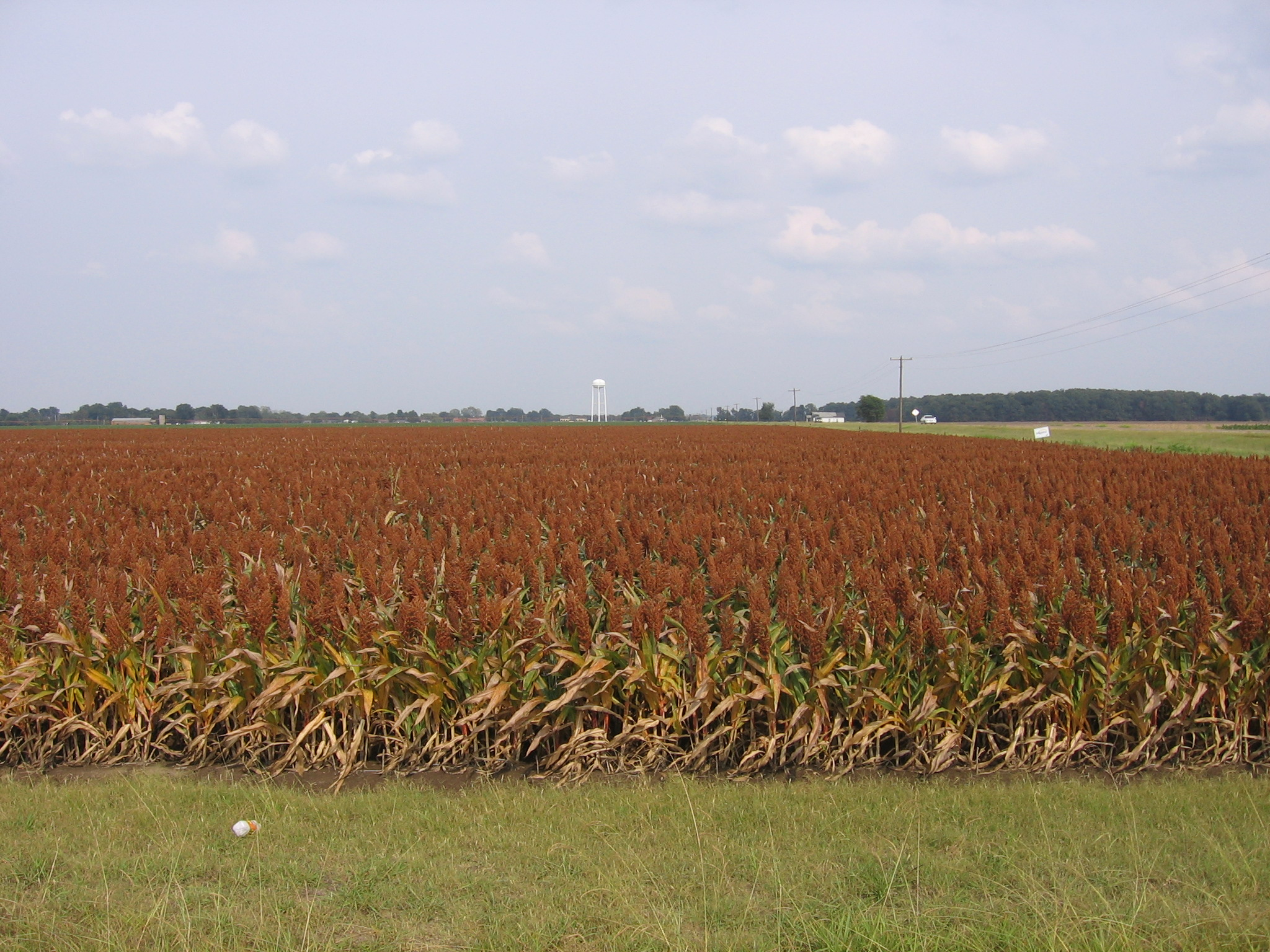 Mississippi tunica county dundee - Sorghum Mississippidelta Tunicacounty Milosorghum