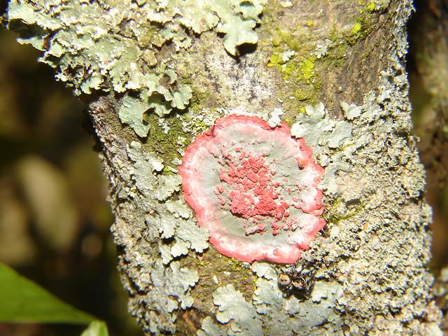 Pastilhas de um fungo de pregos o preço e respostas