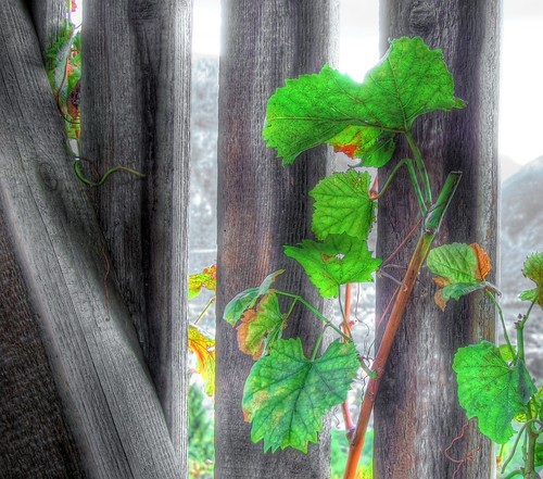 leaves vine hdr naturesfinest colourartaward proudshopper