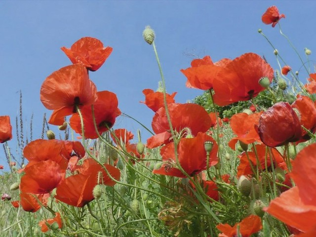 The Sicilian Poppies of Taormina