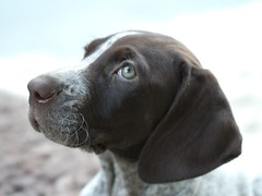 dog breed(1.0), labrador retriever(1.0), animal(1.0), dog(1.0), snout(1.0), weimaraner(1.0), carnivoran(1.0),