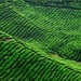 Cameron Highlands - Malayasia by ashleygasperino