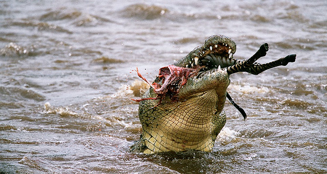 Nile crocodile eating zebra - photo#5