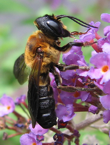 new orange black flower fauna insect nj large july bee jersey butterflybush nonnative lateral hymenoptera buddleja megachilidae eastbrunswick megachile apoidea middlesexcounty aculeata eastbrunswickbutterflypark megachilesculpturalis giantresinbee resinbee anthophila