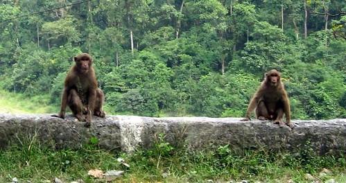 india geotagged asia peanuts monkeys sikkim westbengal subcontinent carpefeline peanutmonkeys geo:lat=26563963 geo:lon=88736572