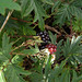 cutleaf blackberry - Photo (c) Eva Ekeblad, some rights reserved (CC BY-NC-SA)