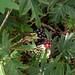 Cutleaf Blackberry - Photo (c) Eva Ekeblad, some rights reserved (CC BY-NC-SA)