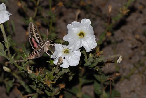 Hyles lineata and Petunia axillaris axillaris DSC_7740