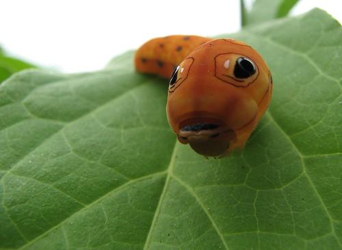Spicebush swallowtail caterpillar (Papilio troilus)