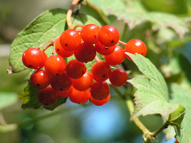 Autumn Berries, New Forest, Hampshire, England
