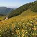Sunflower fields, Mae Hong Son