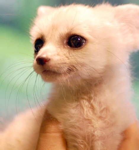 Fennec fox pup flickr photo sharing