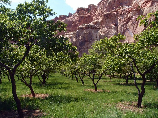 Orchard, Fruita area, Capitol Reef NP