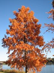 Bald Cypress in Autumn Lake Crabtree NC 0452