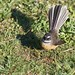 North Island Fantail - Photo (c) Brenda  Anderson, some rights reserved (CC BY-NC-SA)