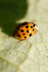 yellow(0.0), arthropod(1.0), animal(1.0), ladybird(1.0), leaf(1.0), invertebrate(1.0), insect(1.0), macro photography(1.0), green(1.0), fauna(1.0), close-up(1.0), leaf beetle(1.0), beetle(1.0),