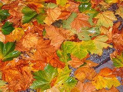 tree(0.0), produce(0.0), food(0.0), deciduous(1.0), leaf(1.0), grape leaves(1.0), maple leaf(1.0), autumn(1.0),