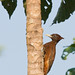 Amazon Woodpecker