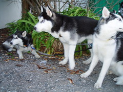 west siberian laika(0.0), miniature siberian husky(0.0), shikoku(0.0), karelian bear dog(0.0), russo-european laika(0.0), tamaskan dog(0.0), jã¤mthund(0.0), dog breed(1.0), animal(1.0), dog(1.0), alaskan klee kai(1.0), siberian husky(1.0), pet(1.0), east siberian laika(1.0), greenland dog(1.0), northern inuit dog(1.0), saarloos wolfdog(1.0), native american indian dog(1.0), alaskan malamute(1.0), sled dog(1.0), carnivoran(1.0),