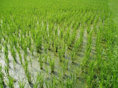 Le riz asiatique la petite cuisine d 39 eve - Ou pousse le kiwi ...