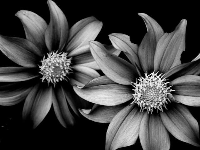 b&w flowers | Flickr - Photo Sharing!