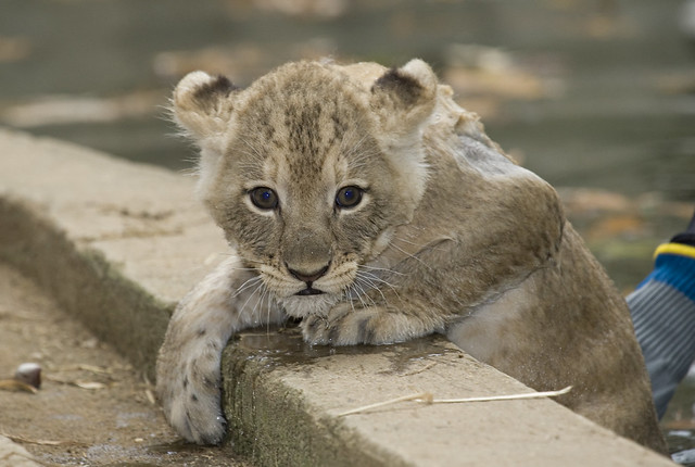 National zoo s lion cubs take a swim test the smithsonian