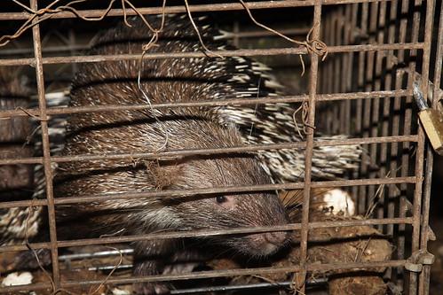 Landak (Porcupine), Tawangmangu, Indonesia