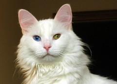 javanese(0.0), balinese(0.0), manx(0.0), domestic short-haired cat(0.0), domestic long-haired cat(1.0), nose(1.0), animal(1.0), turkish van(1.0), british semi-longhair(1.0), khao manee(1.0), small to medium-sized cats(1.0), pet(1.0), burmilla(1.0), european shorthair(1.0), turkish angora(1.0), cat(1.0), carnivoran(1.0), whiskers(1.0),