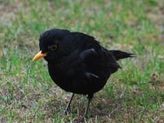 robin(0.0), cinclidae(0.0), crow(0.0), common myna(0.0), acridotheres(0.0), emberizidae(0.0), rook(0.0), animal(1.0), fauna(1.0), beak(1.0), blackbird(1.0), bird(1.0), wildlife(1.0),