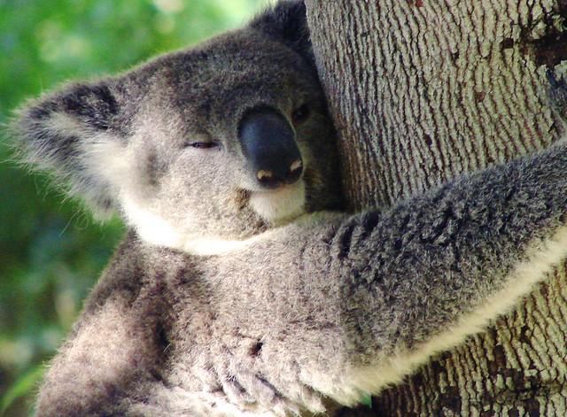 Happy Koala Bear