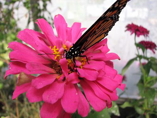 Monarch by emilybean