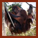 Orangu-Tanning In The Sun
